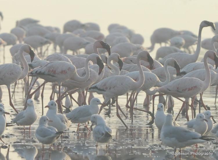 34 Sewri Flamingos