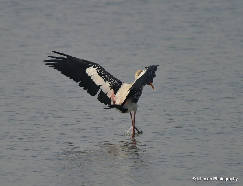 Painted Stork - about to take off