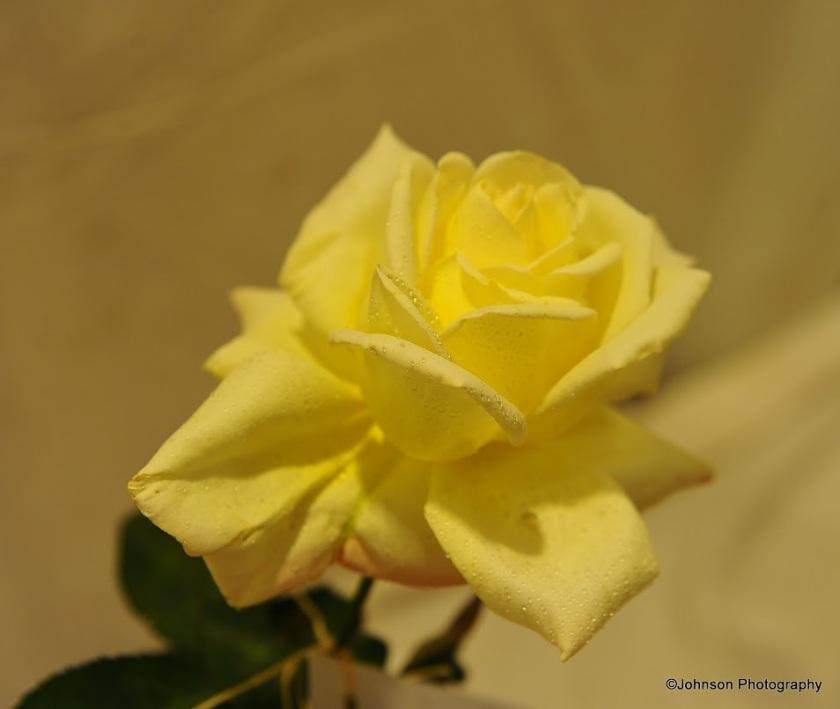 rose-18
