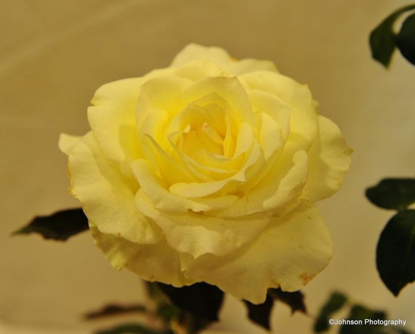 rose-19