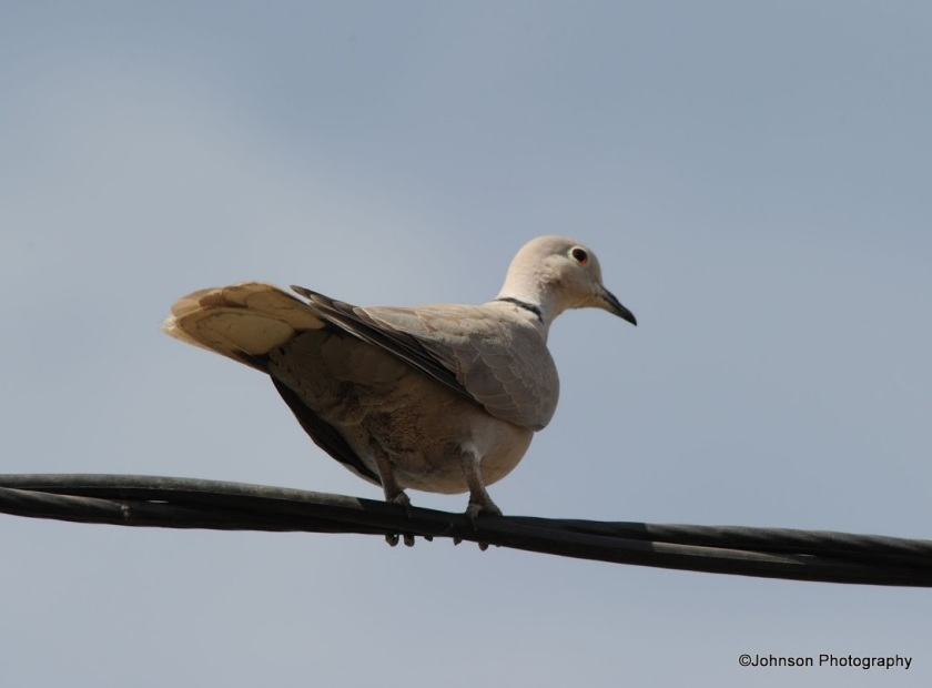 eurasian-collared-dove-1