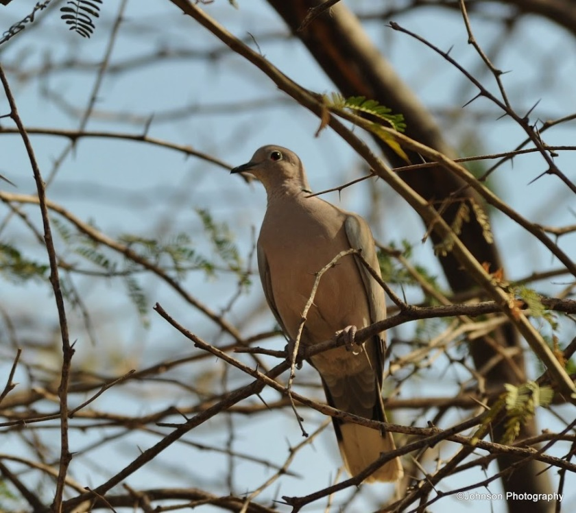 eurasian-collared-dove-2