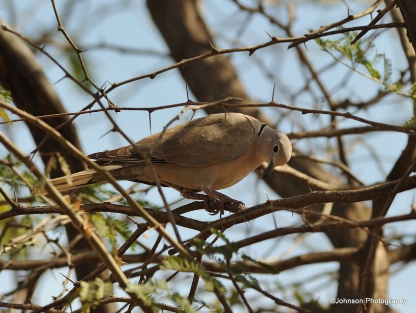 eurasian-collared-dove-3