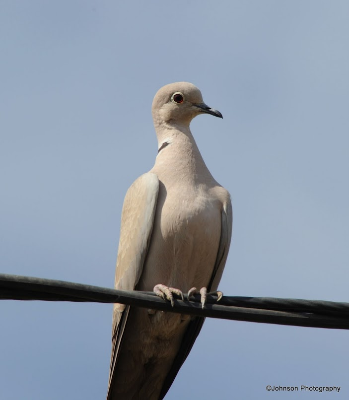 eurasian-collared-dove-5