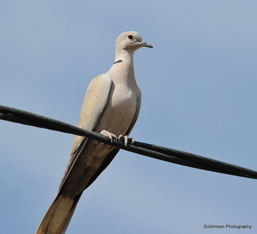 eurasian-collared-dove-6