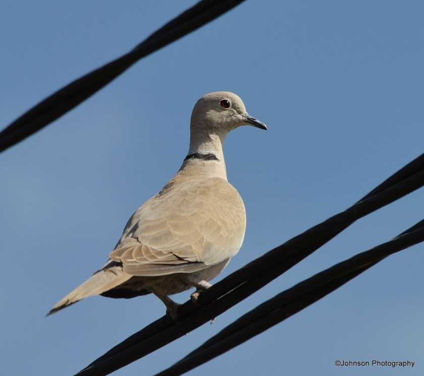 eurasian-collared-dove-7